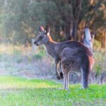 Kangaroo in the Wheatbelt